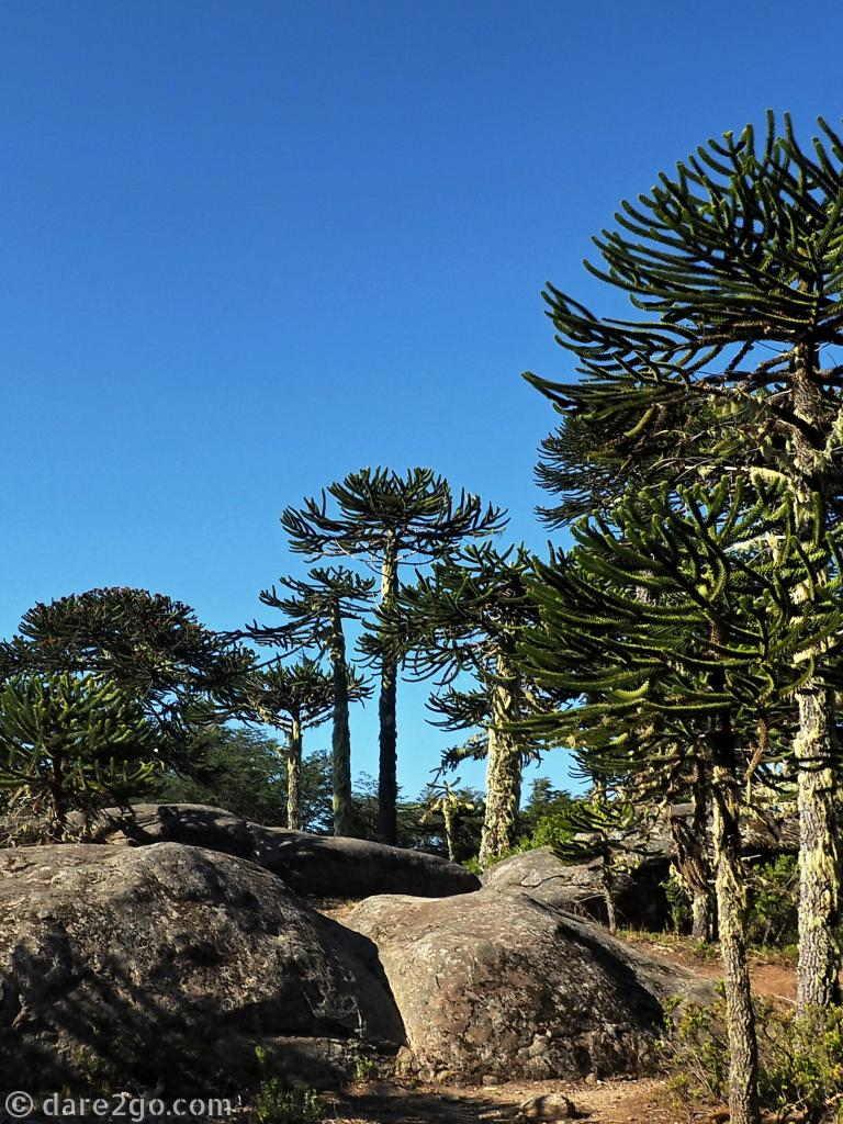 fresh clean air in nature, here at Parque Nacional Nahuelbuta