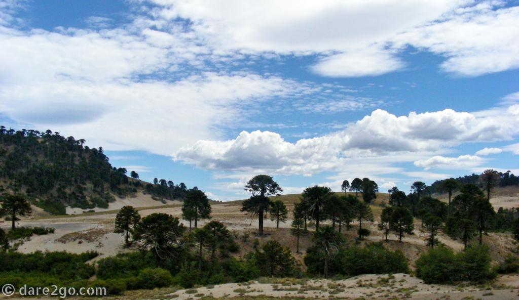 Araucarias along RN23