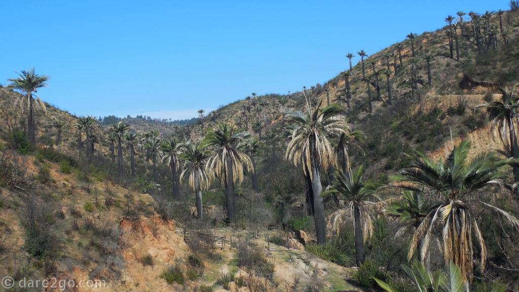near Viña del Mar: Palma Chilena (Jubaea chilensis)