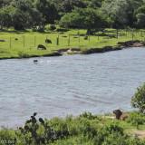 Capybaras at Estação Ecológico do Taim