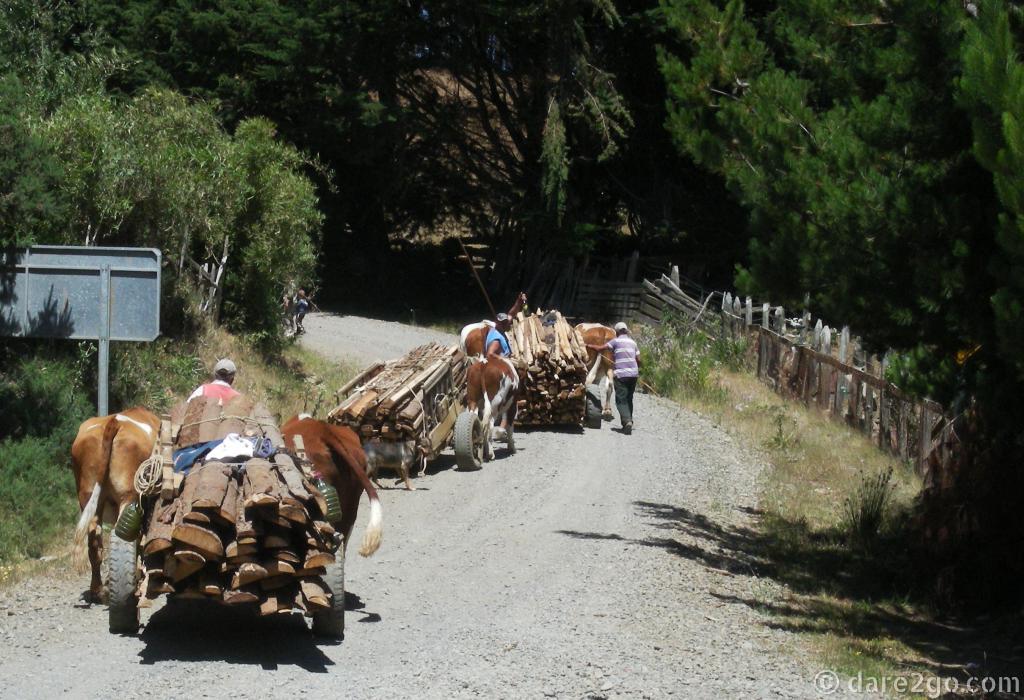 Ox carts hauling timber