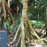 Inhotim Botanical Garden: Paxiuba or walking palm