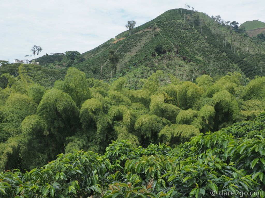 Most coffee plantations in Colombia are on steep hills - one reason that the beans are picked by hand. The river valleys are usually planted with bamboo (in the foreground).