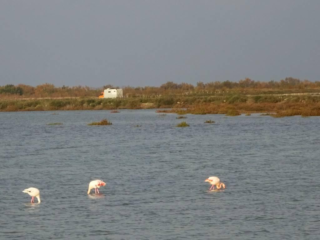Flamingos in front of Bertita. Photo taken in November 2018 in the Camargue.